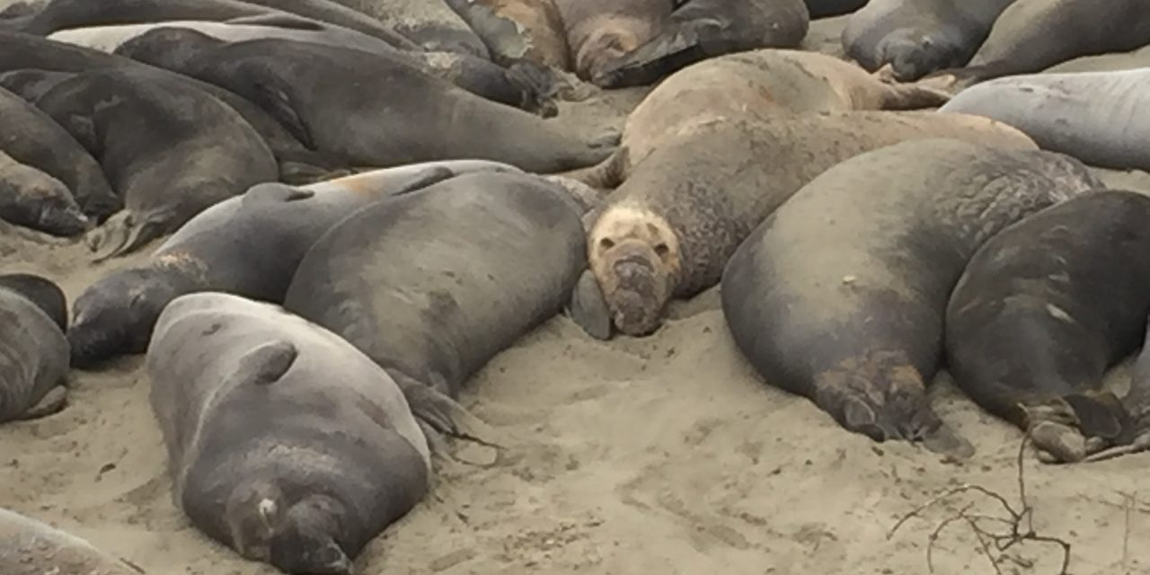 Waarnemen en de zeeolifant